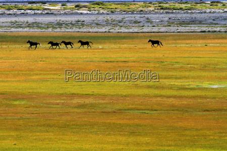 wild, mustangs, zanskar, valley, india - 5479820