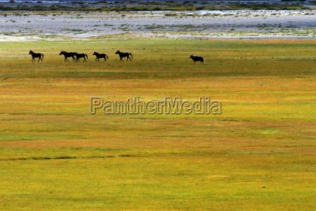 wild, mustangs, zanskar, valley, india - 5479824