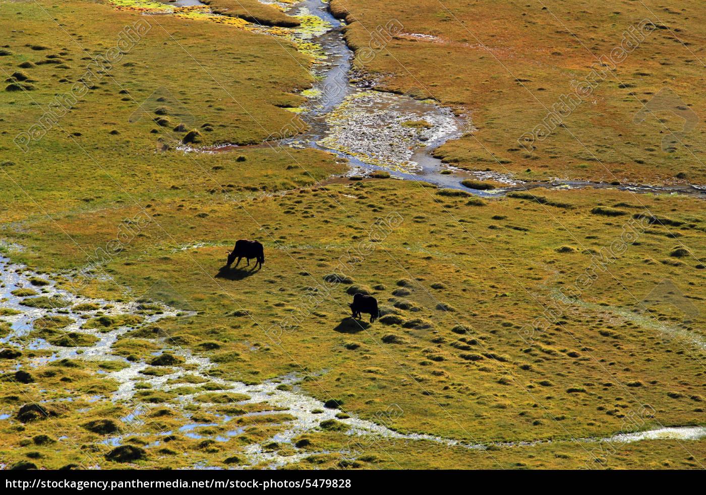 wild, mustangs, zanskar, valley, india - 5479828