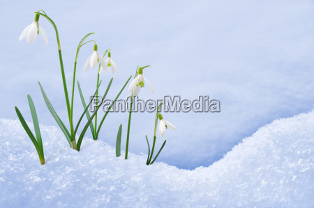 group of snowdrop flowers growing