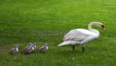 swan marsh
