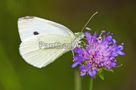 great cabbage white pieris brassicae