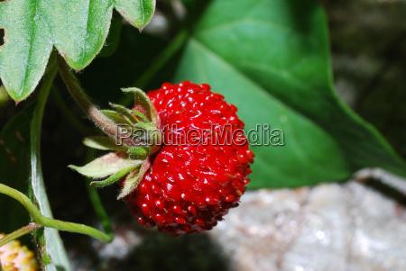 kleine walderdbeere
