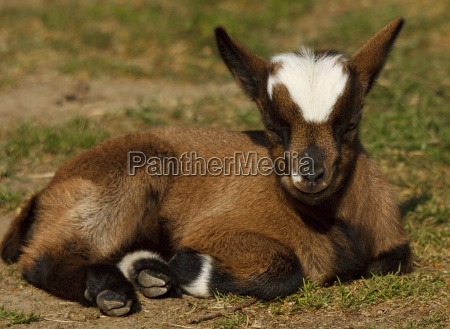 young west african dwarf goat