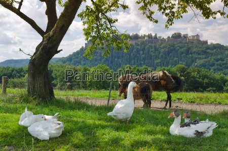 geese and horses in a paddock