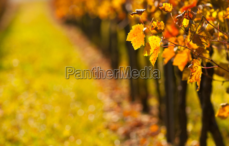 wine leaves in the vineyard