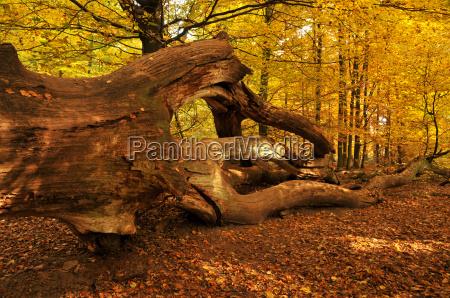 deadwood in buchenwald