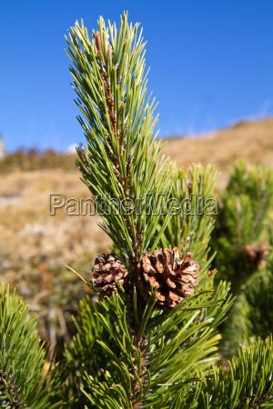 mountain pine mountain pine pinus mugo