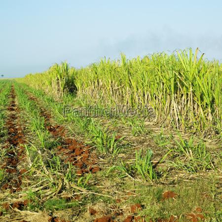 sugar cane field rene fraga cuba