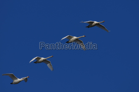 synchronously flying mute swans