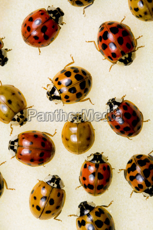 multi colored asian lady beetles