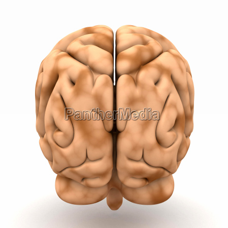 brain view from behind