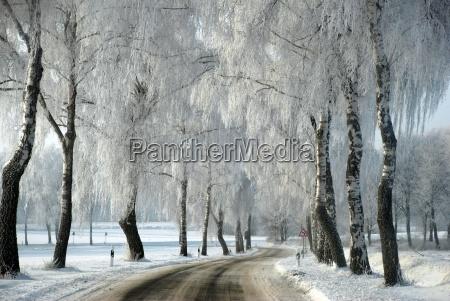 snow alder with curve