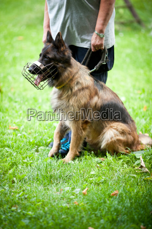 master training his german shepherd dog