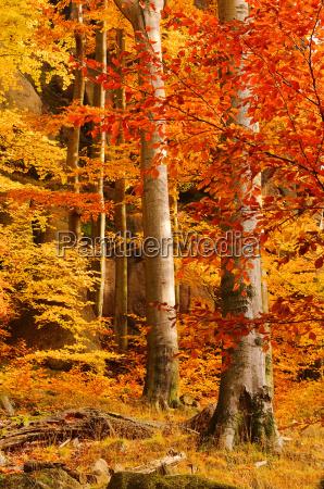 beech forest in autumn beech