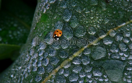 ladybugs on a leaf with dewdrops