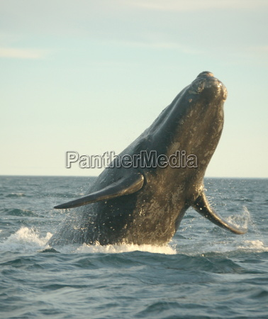 powerful southern right whale ploughing waters
