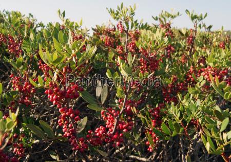 fruits of mastic south sardinia