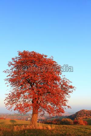 chestnut in autumn