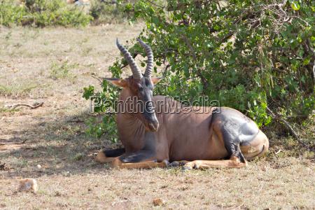 lying hartebeest in the masai mara