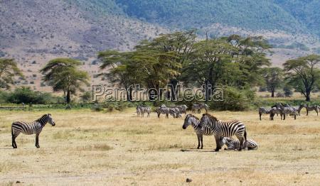zebra herd in the ngorongoro crater
