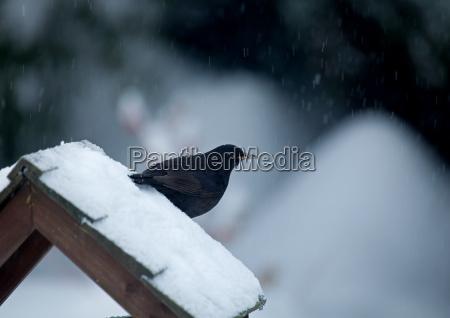blackbird on snowy bird table