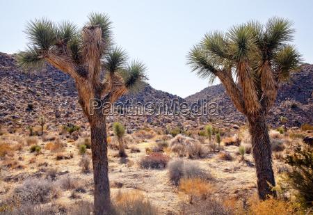 trees yucca brevifolia mojave desert