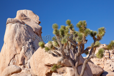 rock climb yucca brevifolia mojave