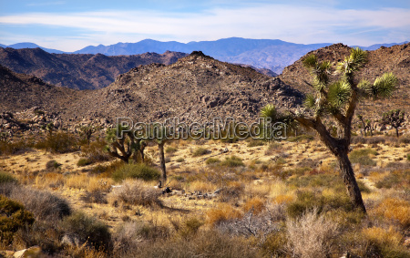 yucca brevifolia mountains mojave desert