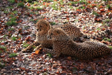 cheetah in closeup