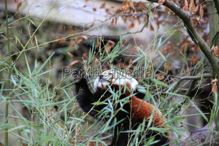 little panda bear close up