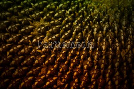 sunflower seeds extreme macro