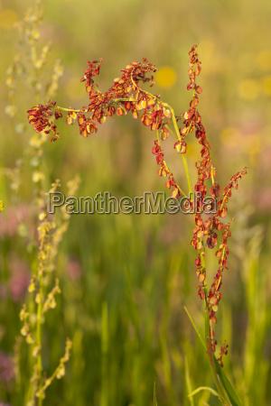 flower sorrel