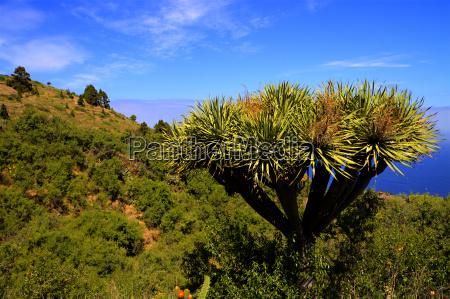 dragon tree ix