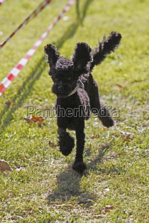 black poodle in a dog race