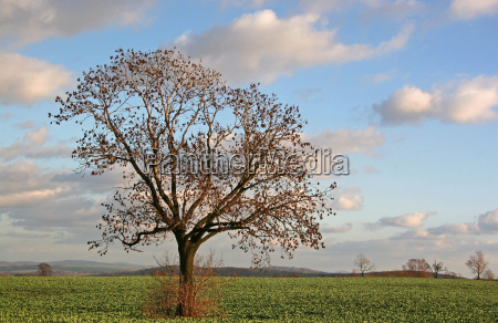tree coleseed rape field agriculture farming