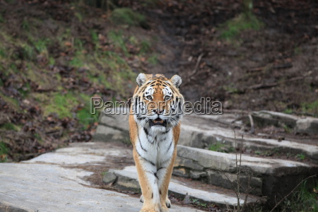 siberian tiger in close up