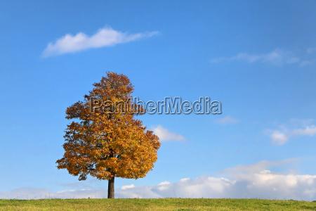 tree leaves maple meadow firmament sky