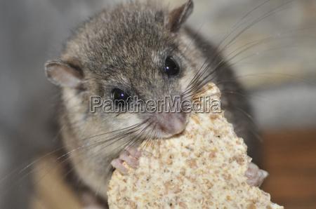 siebenschlaefer when eating
