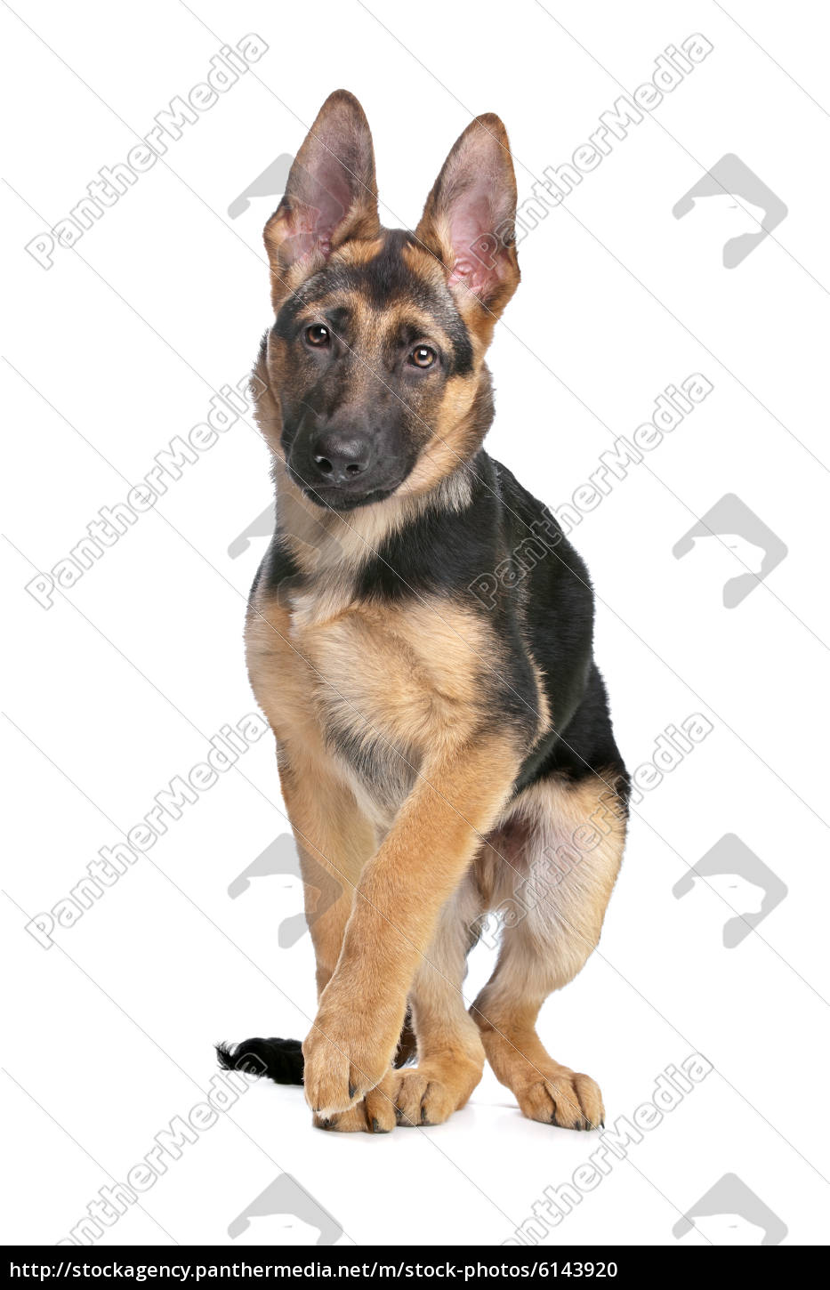 German Shepherd Puppy Royalty Free Photo 6143920 Panthermedia