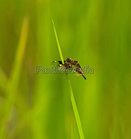 st lucia widow dragonfly
