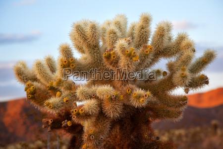 cholla cactus garden mojave desert joshua