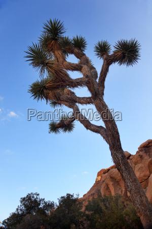 yucca brevifolia evening mojave desert