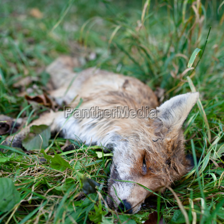 roadkill fox lying dead in