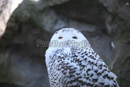 snowy owl in close up