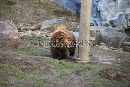 kodiak bear in close up