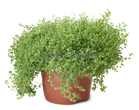 potted green plant on white background