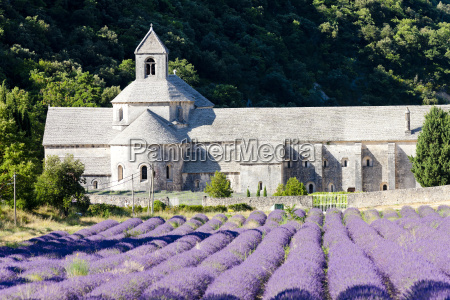 senanque abbey with lavender field provence