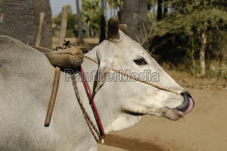 zebu cattle in myanmar