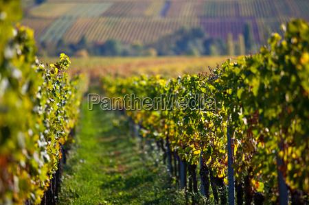 palatine vineyards